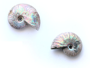 Natural Whole Ammonite Fossil With Blue Flash, 1-3cm