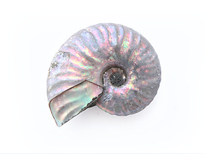 Natural Whole Ammonite Fossil With Blue Flash, 3-5cm