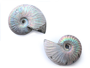 Natural Whole Ammonite Fossil With Blue Flash, 5-7cm